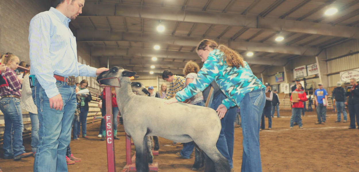 picture of a mentor observing a student who is judging the quality of sheep.